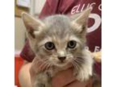 Adopt Ennea a Gray or Blue Domestic Shorthair / Domestic Shorthair / Mixed cat
