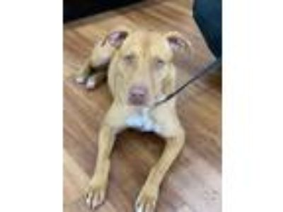 Adopt Maybell a Tan/Yellow/Fawn Mixed Breed (Large) / Mixed dog in Orlando