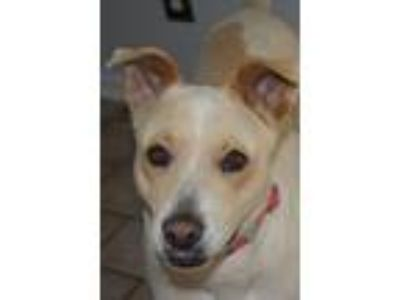 Adopt Honey a White - with Tan, Yellow or Fawn Pointer / American Staffordshire