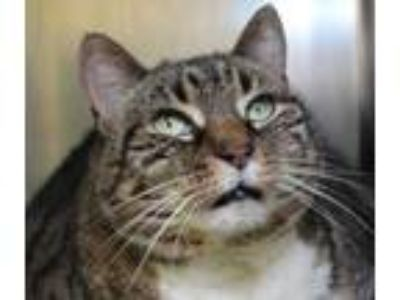 Adopt Lucy a Gray or Blue Domestic Shorthair / Domestic Shorthair / Mixed cat in