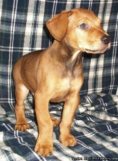 Canis Panther Puppies for Sale