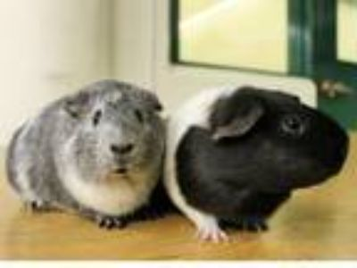 Adopt APRIL a Guinea Pig