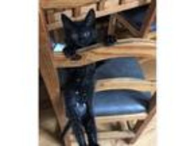 Adopt Dylan a All Black Domestic Shorthair / Mixed cat in Palatine