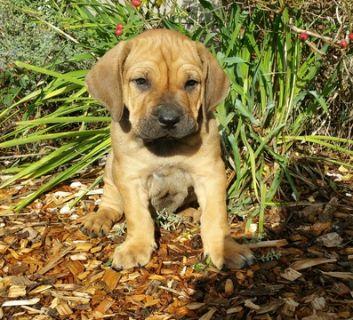 Brazilian Mastiff PUPPY FOR SALE ADN-104181 - Purebred Brazilian Mastiff Fila Brasileiro