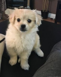 Shitzu Pomeranian female puppy ready for new home!