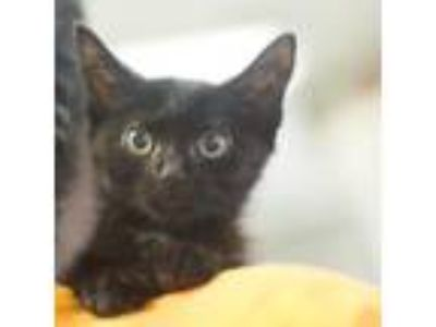 Adopt Uncle Henry a All Black Domestic Longhair / Domestic Shorthair / Mixed cat