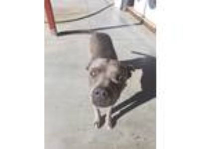 Adopt Venice a Gray/Blue/Silver/Salt & Pepper American Pit Bull Terrier / Mixed