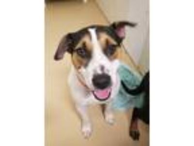 Adopt Samantha - Chino Hills a Tricolor (Tan/Brown & Black & White) Pit Bull