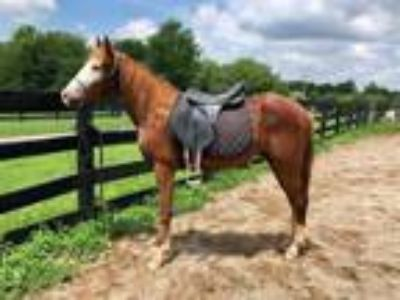 Adopt Ruger a Gaited