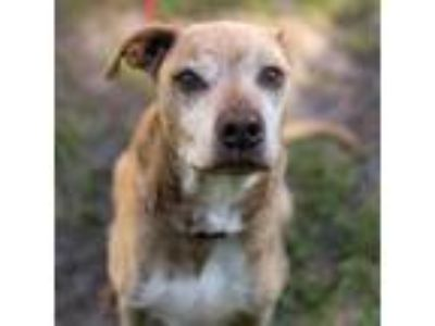 Adopt Salvador a Tan/Yellow/Fawn Shepherd (Unknown Type) dog in Jacksonville