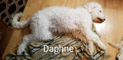 Goldendoodle PUPPY FOR SALE ADN-106359 - English Cream Goldendoodle Puppy REDUCED