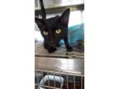 Adopt Snaggle a American Shorthair