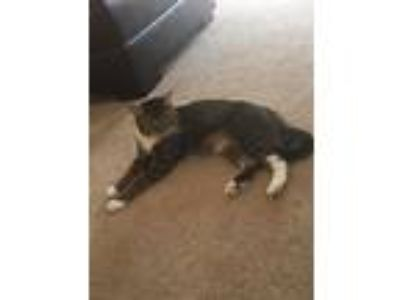 Adopt Toby a Brown Tabby Domestic Shorthair / Mixed cat in Elkton, MD (21680783)