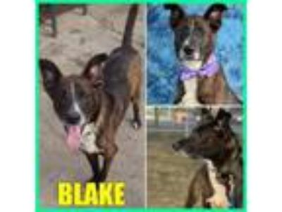 Adopt Blake a German Shepherd Dog, Dalmatian