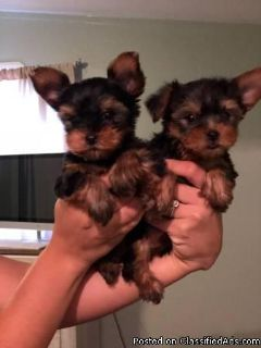 purebred AKC registered male and female YORKIE Puppies