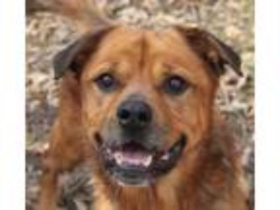 Adopt John Wayne a Brown/Chocolate Shepherd (Unknown Type) / Mixed dog in