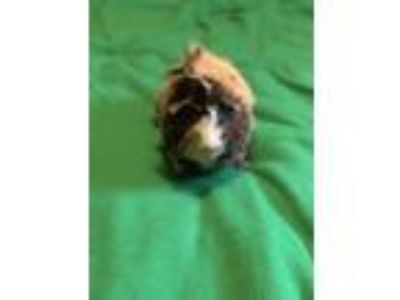 Adopt Reese a Calico Guinea Pig (short coat) small animal in Grand Rapids