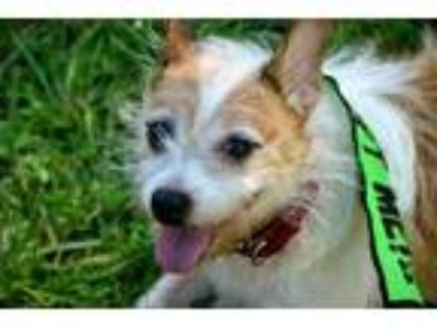 Adopt Otis a White - with Tan, Yellow or Fawn Jack Russell Terrier / Mixed dog