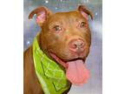 Adopt Redd a Staffordshire Bull Terrier