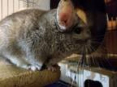 Adopt Gizmo a Chinchilla