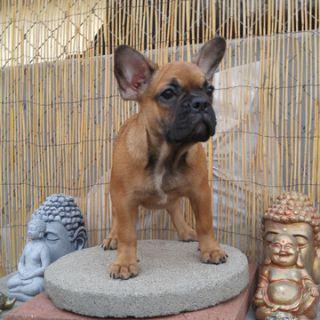 French Bulldog PUPPY FOR SALE ADN-97055 - Mia French bulldog female puppy
