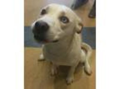 Adopt Ellie a Labrador Retriever / Catahoula Leopard Dog / Mixed dog in Little