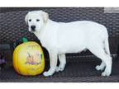 Gorgeous,Quality AKC Lab Puppies Now Ready To Go