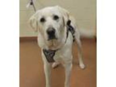 Adopt 59010 Okan a White Akbash / Mixed dog in Spanish Fork, UT (25339943)