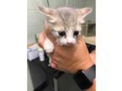 Adopt kitten1 a White Domestic Shorthair / Domestic Shorthair / Mixed cat in
