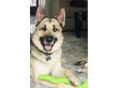 Adopt FOLEY a German Shepherd Dog, Siberian Husky