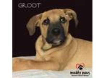 Adopt Groot (Courtesy Post) a Hound
