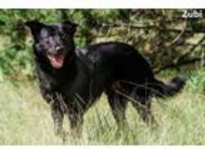 Adopt Zubi a Black Retriever (Unknown Type) / Shepherd (Unknown Type) / Mixed