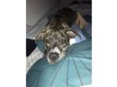 Adopt Diesel a Brindle American Pit Bull Terrier / Labrador Retriever dog in