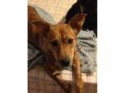 Adopt Molly a Basset Hound / Terrier (Unknown Type, Medium) / Mixed dog in