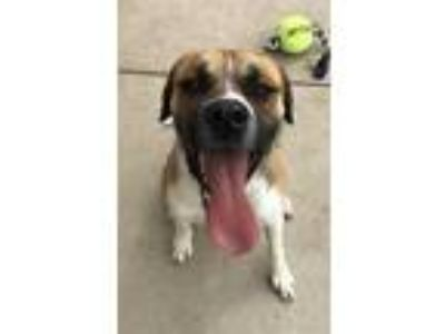 Adopt ZUES a Brown/Chocolate Boxer / Mixed dog in wylie, TX (25004930)