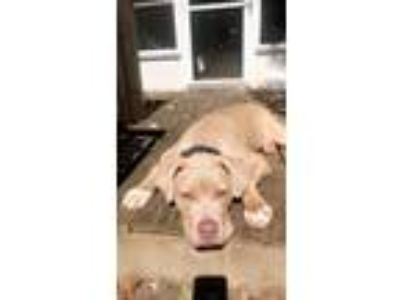 Adopt Theodore (Teddy) a Tan/Yellow/Fawn - with White Weimaraner / Terrier