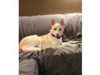 Adopt Lincoln a Husky, German Shepherd Dog