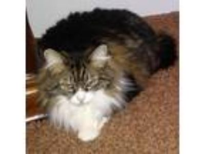 Adopt Maci [CP] a Calico or Dilute Calico Maine Coon / Mixed (long coat) cat in
