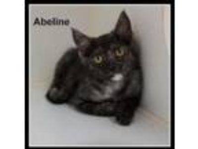 Adopt Abeline a Domestic Short Hair