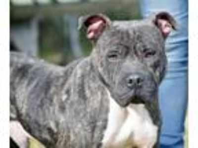 Adopt Gotti a Pit Bull Terrier / Mixed dog in Kingsland, GA (25359499)