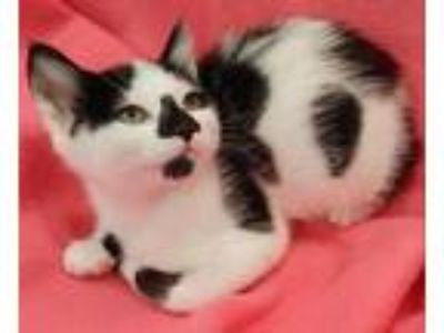 Adopt Oink a Domestic Short Hair