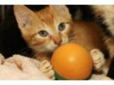 Adopt FOSTER Homeless Cats! a Domestic Short Hair