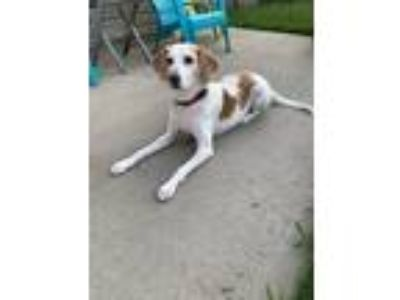 Adopt Follie a Tan/Yellow/Fawn - with White Hound (Unknown Type) / Mixed dog in