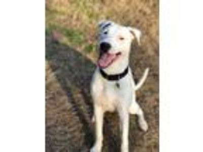 Adopt Kilo a White American Pit Bull Terrier / Mixed dog in Acworth