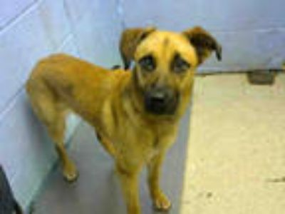 Adopt NUTELLA a Brown/Chocolate German Shepherd Dog / Mixed dog in Atlanta