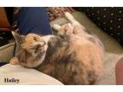 Adopt Hailey a Dilute Calico, Domestic Short Hair