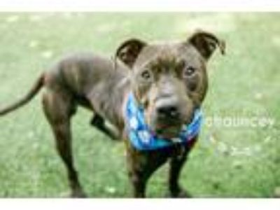 Adopt Chauncey a Pit Bull Terrier, Mixed Breed