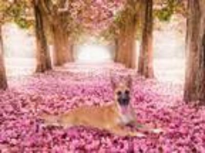 Adopt Summer a Tan/Yellow/Fawn - with Black Belgian Malinois / Mixed dog in