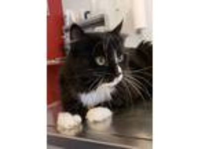 Adopt Oscar a Domestic Medium Hair