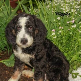 Wiggles Male F1B Bernedoodle
